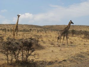 Safari_giraffes