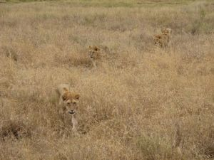 Safari_lion_cubs